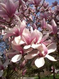 Blossoming, Farmington Hills, 2011